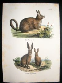 Schinz 1845 Antique Hand Col Print. Rabbits 36